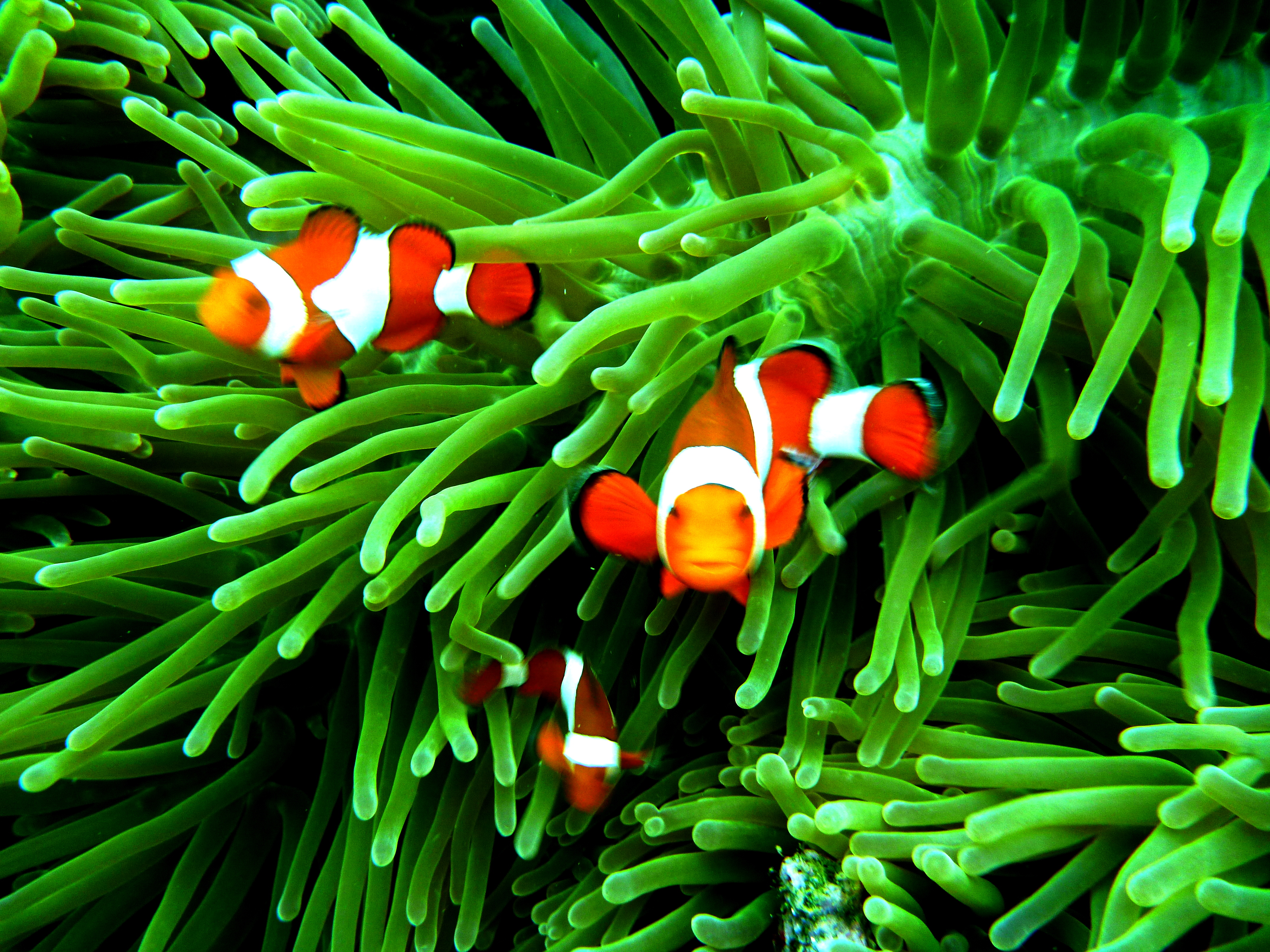 Moalboal weekend kickoff for 2012 life in the great beyond for Pictures of clown fish