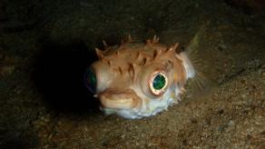 A juvenile puffer