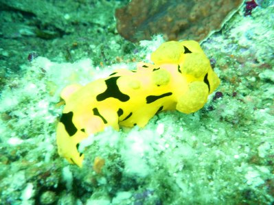 Yellow sea slug, rare specie