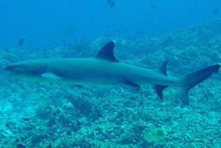 A white tip shark in Tubbataha