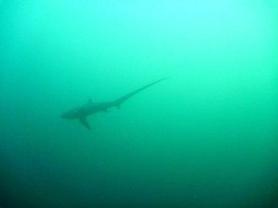 We had a thresher shark show!