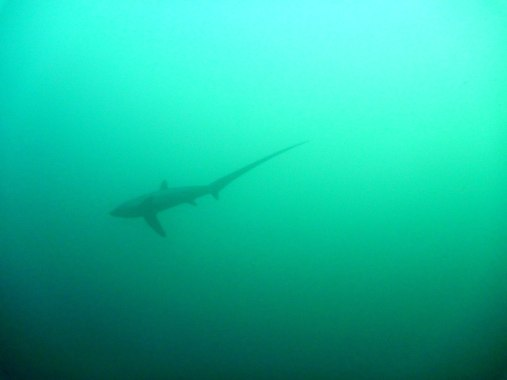 We had a thresher shark show at Monad Shoal!