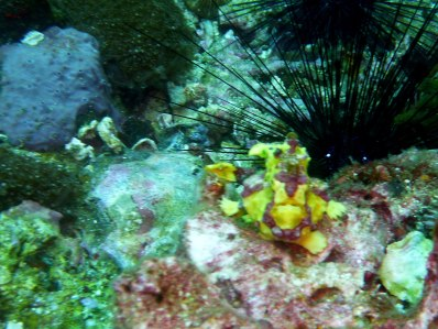 Juvenile yellow frogfish - rare find!