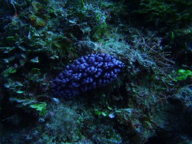 Purple nudi at Bacuit Bay depths