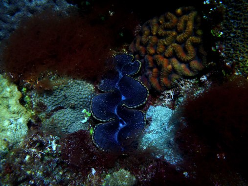 Giant clam in between soft coral, Biri waters