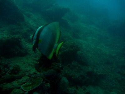 Giant bat fish!