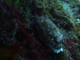Brownish nudi, Bacuit Bay depths