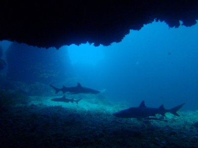 Reef sharks in a cavern in Gato island, Malapascua