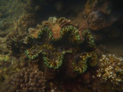 A giant clam - something new in the sanctuary!