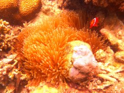 Sea anemone and its resident clownfish