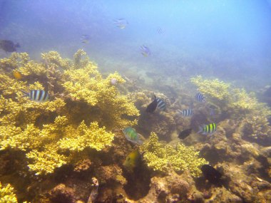 branching corals with chromis and damsels