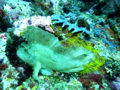 Leaf fish at Banaug Shoal