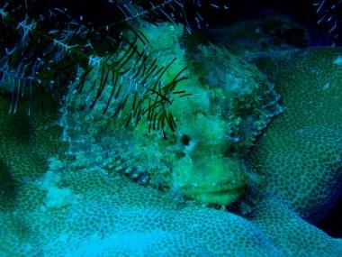 Resident scorpion fish