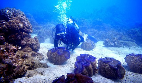 Giant clams seeded in Misibis Bay waters