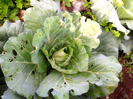 Certified organic cabbage - insect holes visible