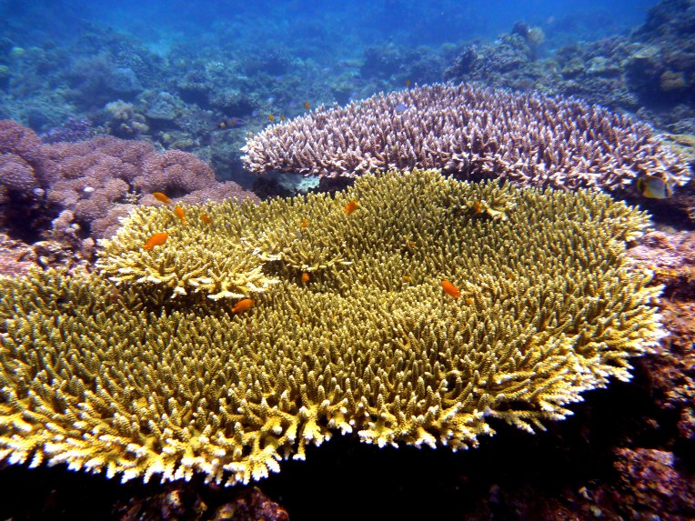 Wide colorful table corals