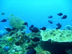 Chromis contently hovering over soft and hard corals
