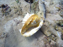 Sighted at Lapinig Island sandy depths, first time to encounter a live budyong shell
