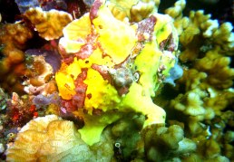 The yellow frogfish in Pescador Island
