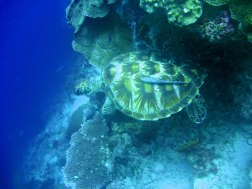 The lowly turtle with a remora on its back