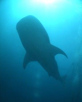 whaleshark 4