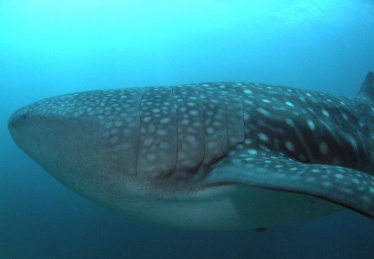 whaleshark 5