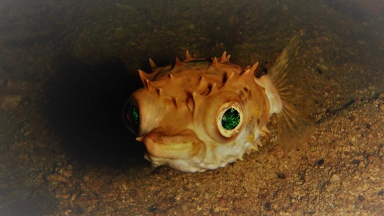 Juvenile porcupine fish with those pleading eyes