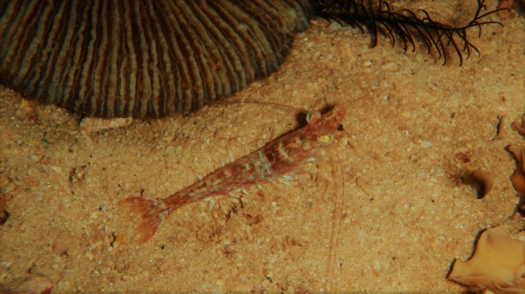 A shrimp waiting for prey at night