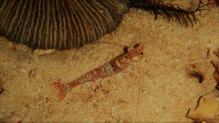 A shrimp waiting for prey at night