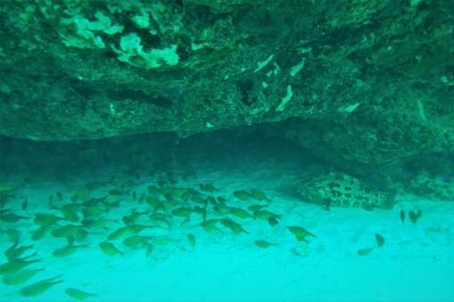 Cardinals & goliath grouper in a cavern