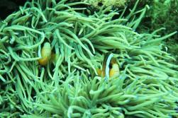 Peeping anemone fish!